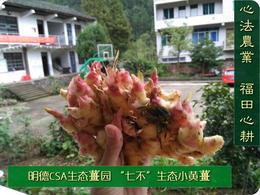 团购2020年11月秋收的'七不'小黄姜鲜姜5斤  明德生态姜园心法农业恭献