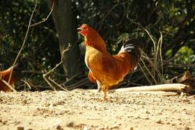 生态河田阉鸡(240-270天)4.3-4.8斤毛重