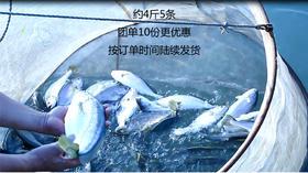 【团长】北麂大黄鱼,助农活动