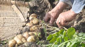 【团长】善康本地土豆10斤装,防疫助农,平价蔬菜,预售下单,基地直采,送货上门