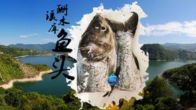 文成珊溪水库包头鱼宰杀后净重约2.6斤