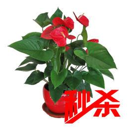 【绿植】红掌(原盆)