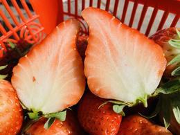 新鲜采摘卧龙草莓(蒿坪基地)2斤装【每周二,周五送货】